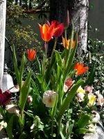 Spring Tulips 2012 at Ananda